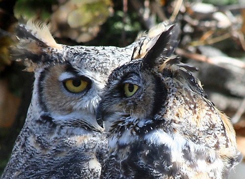 Photo - Great Horned Owls