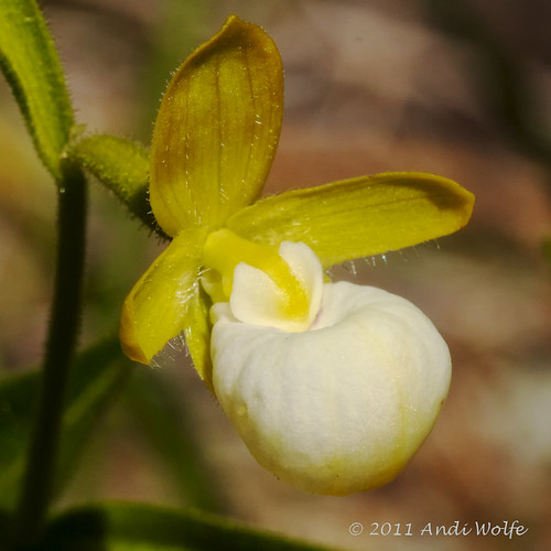 Lady Slipper by andiwolfe (back from travels, need to catch up)