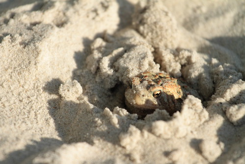 burrowing sand toad