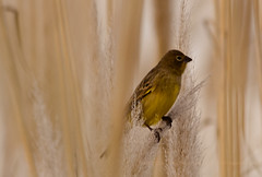 misto (Grassland yellow- Finch) (Mnica Etcheverry) Tags: light naturaleza color macro bird art luz nature argentine animal yellow photo nikon day dia ave encuadre d3100