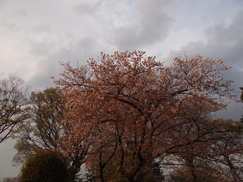 桜 2010 池上本門寺