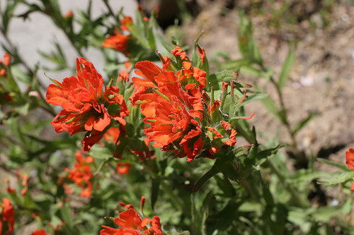 Red Indian Paint Brush