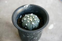 Astrophytum asterias cv. superkabuto star shape 八爪兜 (smalla) Tags: star shape cv astrophytum 兜 asterias superkabuto 八爪兜 大漠園藝