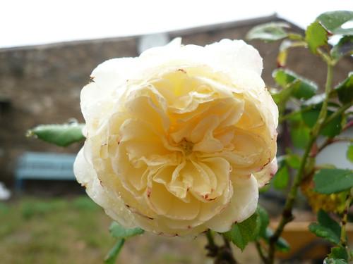 David Austen rose