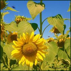 La temporada de los girasoles llega a su fin (nuska2008) Tags: nuska2008 flores girasol flowers nanebotas naturaleza olympusu1060s1060 flickr azulyamarllo cieloazul hojas