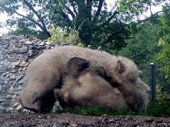 Hey!  Get your grubby paws off me! ('Ebe) Tags: bear polarbear rhenen bearcub savethepolarbear ouwehandszoo sikuorsesi