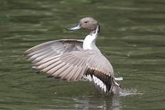 Northern Pintail (naturelover2007) Tags: male bird nature fauna duck northernpintail supershot specanimal avianexcellence faunainmotion naturelover2007 naturelover