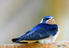 Swallow (Roger's Photos59) Tags: thewonderfulworldofbirds peregrino27life