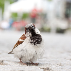 (*m22) Tags: bird birds square dresden housesparrow passerdomesticus vgel vogel spatz haussperling
