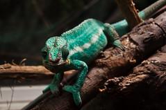 Bellosguardo.... (albi_tai) Tags: verde nikon genova acqua acquario carletto camaleonte d90 nikond90 albitai mygearandme