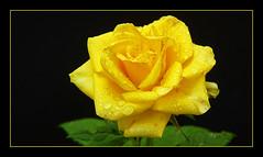 A csárdabérlő kertje (djoki80) Tags: flower macro rose yellow virág sárga mór makró rózsa jókai