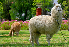 L is for Lama (kees straver (will be back online soon friends)) Tags: travel luz peru southamerica animal animals inca cuzco canon zoo cusco llama bolivia explore andes lama machupicchu vela arequipa