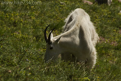 "Mountain Goat • <a style=""font-size:0.8em;"" href=""http://www.flickr.com/photos/63501323@N07/5982758604/"" target=""_blank"">View on Flickr</a>"