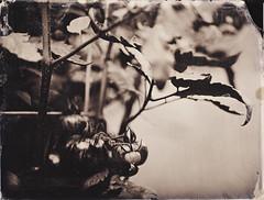 Tomato Vine (BlakeWylie) Tags: wet tomato vine plate ambrotype wetplate alternative collodion wetplatecollodion