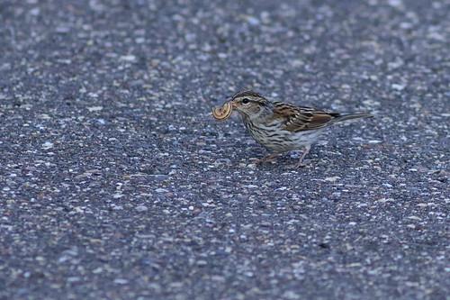 Sparrow with Dinner DSC_3201