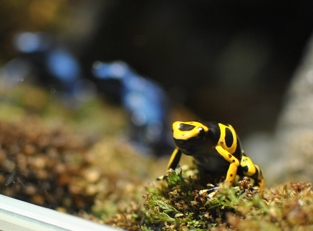 Bumble Bee Poison Frog