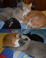 Amores (Bibi) Tags: orange cats black love grey gris cozy chats noir amor laranja gray gatos kafka cinza truffaut pretinho rousseau confortvel