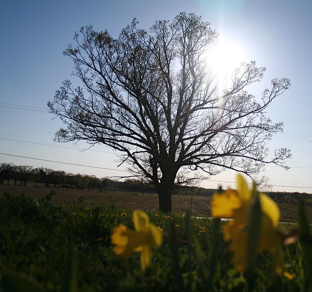 Oak Tree in Afternoon Light, April 2010