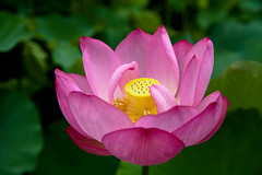 Came back to Japan (Apricot Cafe) Tags: pink flower green yellow japan tokyo東京 yakushiikepark薬師池公園 platinumheartaward lotusハス nelumbonuciferaハス img522023