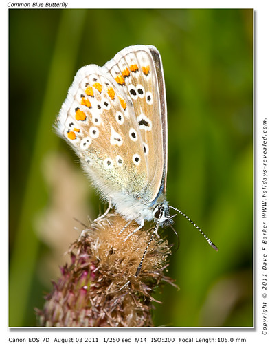 Common Blue Butterfly Hic Bibi Yarrow Valley Coppull Nr Chorley Lancashire