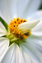 Crme de la Cosmo (SolsticeSol) Tags: flowers white flower macro floral vertical gardens closeup garden petals michigan unique fresh odd delicate cosmo florals cosmos whiteflowers gardenflowers flowermacros pretttyflowers oddflowers delicatewhiteflowers uniqueflowers cosmosflowers imagesofwhiteflowers prettywhiteflowers uniqueflowerimages beautifulflowerpictures beautifulflowerimages omgitisclearlyacaseofcosmiccosmosflowerporn delicateflowerimages imagesofcosmosflowers freshflowerimages verticalflowerimages gardenflowerimages verticalimagesofflowers whitecosmosflowers cosmosflowercloseups beautifulflowercloseups beautifulflowermacros uniquelookingflowers cosmosflowermacros