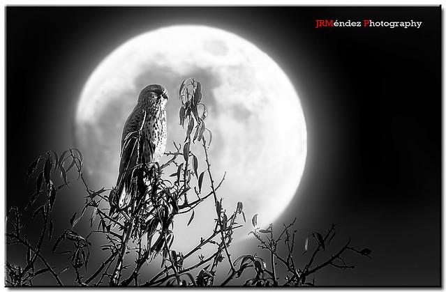 El cernícalo y la luna