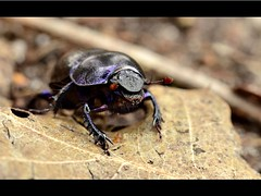 Anoplotrupes stercorosus (ronjaa photography) Tags: macro closeup thenetherlands august veluwezoom kfer extensiontube coleoptera dungbeetle mistkfer 2011 dorbeetle polyphaga scarabaeoidea waldmistkfer anoplotrupesstercorosus zwischenringe ronjaa