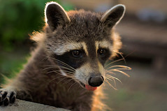 Bandit (Mark Liddell) Tags: city sunset wild ontario canada black cute animal tongue cat out mask bokeh ottawa hill capital parliament canadian whiskers raccoon bandit parlement sanctuary sticking