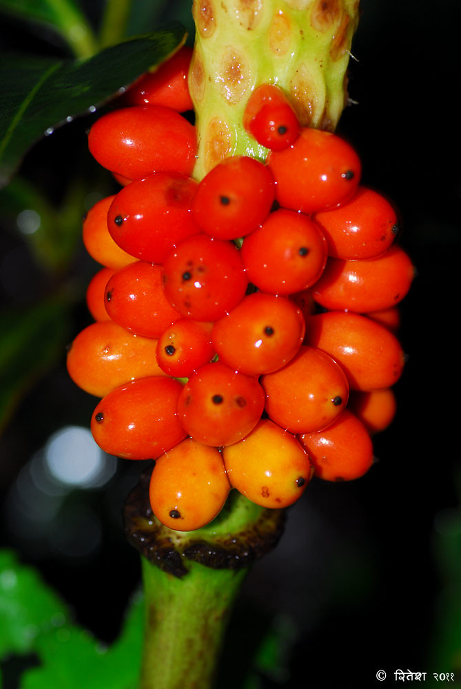 Fruits of Cobra Lily
