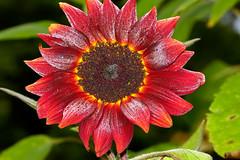 Aug022011_0938-Red-Sunflower (©Delos Johnson) Tags: flowers canon garden sunflower topaz delos g9 detail4 denoise