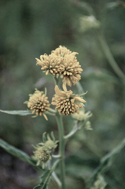 Autochromed yellow flowers 2