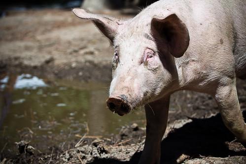 110716 Pig