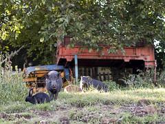 coniglio_maiale2011_9194620_1 (stegdino) Tags: rabbit animal rural mammal pig farm animale maiale coniglio fattoria gamewinner mammifero challengeyouwinner pregamewinner