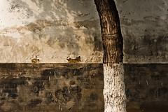 Framed Shadow (Jonathan Kos-Read) Tags: china shadow tree wall cool confucius uncool juxtaposition minimalist whitepaint qufu cool2 cool3 cool6 cool4 cool7 uncool2 uncool3 uncool4 uncool5 uncool6 uncool7 getpushed cool5forjlswam