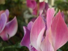 Perfumadas llamas (0_Detalles_0) Tags: color de persia violeta fuerza dulzura ptalos suaves llamitas