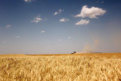Deerfield, Kan., wheat field.
