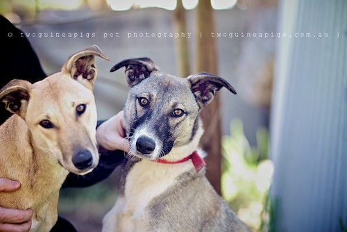 Bugsy + Spirit 9 month old Kelpie x Whippet AWDRI Star Dogs photographed by twoguineapigs Pet Photography, pet portraiture, dog photographer in Sydney.