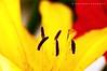 the CORE (puthoOr photOgraphy) Tags: flower floral lightroom dohaqatar d90 adobelightroom tokina100mm28 nikond90 tokina100mmf28atxprod imagicland puthoor