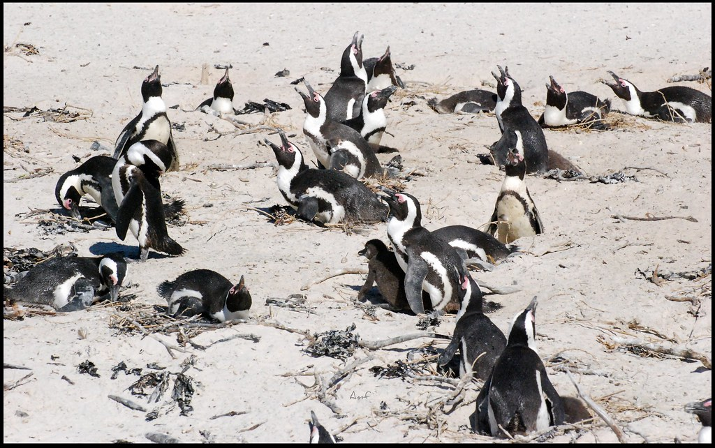 Nests Everywhere On Boulders Beach