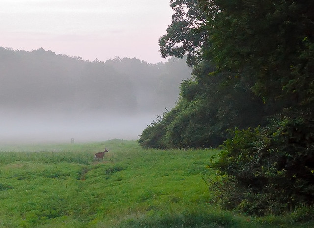 Jefferson Barracks County Park, in Lemay, Missouri, USA - deer in fog at sunrise