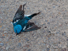 Lazuli Bunting, gone.