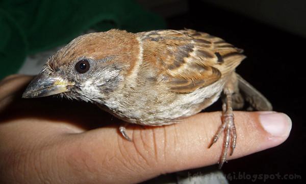 Sparrow Rescue 3