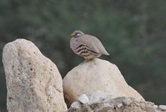 Sand Partridge - Ammoperdix heyi, En Gedi, IL, 2007_01_18_ 229.jpg (maholyoak) Tags: birds israel partridges gamebirds sandpartridge ammoperdixheyi