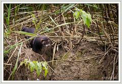 10072011-IMG_2498 (Frantzk) Tags: france alsace mammals mammalia carnivores selestat basrhin carnivora polecat mustelidae mammifères mustelaputorius illwald mustelidés putoisdeurope