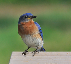 Wildlife at Langwater Farm:  Eastern Bluebird (GlennCantor (theskepticaloptimist)) Tags: bird massachusetts explore nestbox openfield sialiasialis naturesfinest turdidae coth5 langwaterfarm neartheorchard