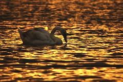Swimming at Sunset 51/52 (sleepyhead's) Tags: sunset project swan sundown young 51 weeks mute 52 muteswan cygnusolor goldenlight fiftytwo cygnus anatidae anseriformes olor 52weeks 5152 project52 52weeksproject youngmuteswan projectfiftytwo 51of52 fiftytwoweeksproject swimmingatsunset