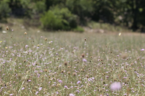 a magical field of scabious