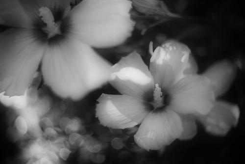 Rose of Sharon by KinoNash