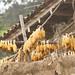 No Peru existem 183 espécies de milho.