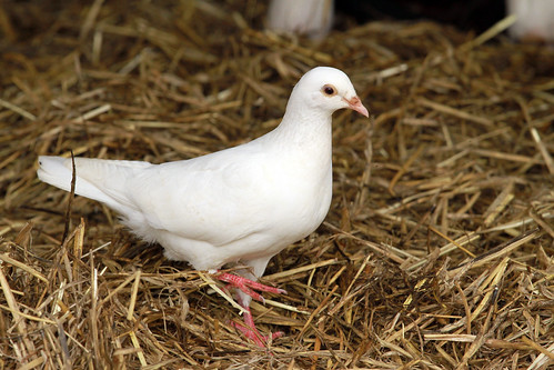 Honeybrook Farm - Dove